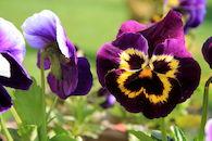 Viooltjesbloemen