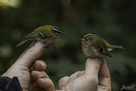 Ringen van vogels.