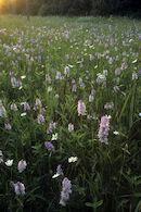 Schraal grasland in het natuurgebied Heideveld-Bornebeek