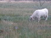 Galloway-koe in het heideveld van het natuurgebied Heideveld-Bornebeek