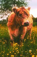 Galloway-koei