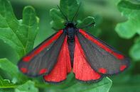 st. jacobsvlinder
